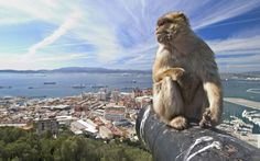Gibraltar  The Barbary macaque population in Gibraltar is the only one in the whole of the European continent. As they are a tailless species, they are also known locally as Barbary apes or Rock apes, despite the fact that they are monkeys