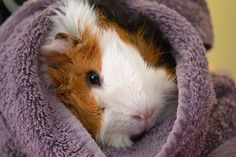 Rongeur - Cochon D'inde -Abyssin / Rosette - Noisette on Yummypets.com