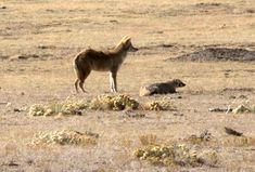U.S. Fish and Wildlife Service. Coyotes and badgers are known to hunt together and can even be more successful hunting prairie dogs and ground-squirrels when they work in tandem.