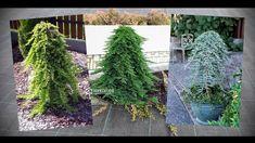 Как сделать ниваки (бонсай) - плакучее дерево