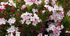 Weigelien pflanzen, schneiden und pflegen: Informationen, Tipps & Tricks - Mein schöner Garten