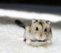 baby dwarf hamster houdini