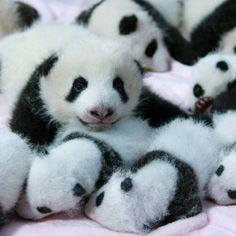 I 14 cuccioli di panda del centro di ricerca di Chengdu, in Cina, hanno già cento giorni di vita. Un traguardo importante nella tradizione cinese che va festeggiato per augurare al neonato cento anni di vita. [via zootropio]