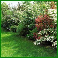 Große dekorativ blühende Sträucher sind eine reizvolle Alternative zu den traditionellen kaum Blüten tragenden Sichtschutzhecken