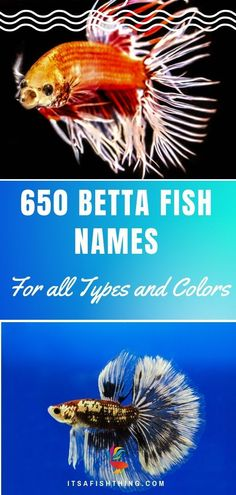 Do you name your fish? Most people do! We have over 650 names for betta fish in this guide, ones to suit all the many different types according to color, tail type, patterns, male or female and even depending on their personality! Betta Fish Bowl, Koi Betta, Betta Fish Types, Betta Fish Care, Fish Names Pet, Beta Fish Names, Male Pet Names, Baby Fish, Baby Betta Fish
