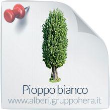 Pioppo Bianco - Elimina la bolletta, regala un albero - Gruppo Hera