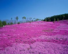 Pretty in pink: Takinoue Park, in Hokkaido, Japan, is famous for Shibazakura or pink moss, attracting thousands of visitors every year between May and June when the flowers are in full bloom Beautiful Photos Of Nature, Amazing Nature, Beautiful Places, Peaceful Places, Amazing Places, Magic Forest, Japanese Flowers, Travel Images, Permaculture