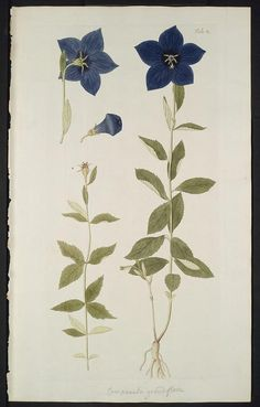 1776 - v. 3 - Hortus botanicus vindobonensis, seu, Plantarum rariorum, quae in Horto botanico vindobonensi ... - Biodiversity Heritage Library
