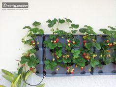 Yummy, yummy! Die vertikale Erdbeerfarm für die Stadtwohnung. Harvest what you sow! Der Minigarden vertical machts möglich. #VertikalFarming #RegionalerAnbau