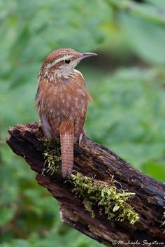 """Carolina Wren. We had a family (four chicks) in a hanging plant on our patio. We watched the chicks from eggs to fledglings to finally leaving """"home""""."""
