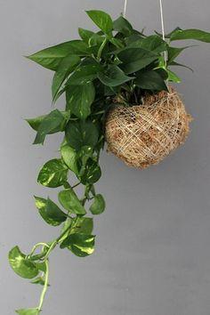 Zajímavé pěstování pokojových rostlin v závěsech anebo na mísách v koulích z mechu a speciálního pěstebního substrátu. Nejedná se vždy jen o závěsné typy, ale právě ony vypadají nejzajímavěji. V kokedamách se uplatní cibuloviny, orchideje, ale i mnohé další typy rostlin. Každá z nich působí jinak, každá má své osobité kouzlo.