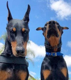Cute Puppies, Cute Dogs, Dogs And Puppies, Big Dogs, Corgi Puppies, Doggies, Chien Dobermann, Cute Baby Animals, Animals And Pets