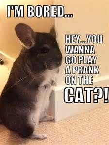 Funniest Chinchillas - Bing images