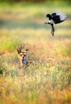 A red fox sits in the grass as a magpie dives toward it in a field east of Walla Walla, Wash. (AP Photo)