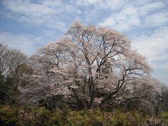 大桜、小桜:魚の庭 <2013-03-28>
