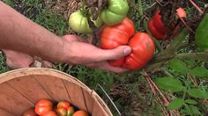Last Heirloom Tomato Harvest For the Year