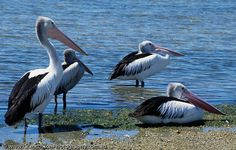 image of Pelicans awaiting
