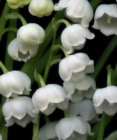 Lily of the Valley, Convallaria majalis...in bloom now in my garden 4-18-16