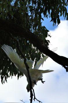 white cock atoo Cockatoo, Backpacker, Bald Eagle, Animals, Animales, Animaux, Animal, Animais, Backpacking