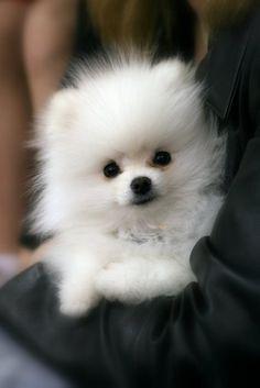Beautiful rare White Pomaranian  #adorable #2cute