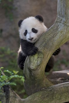 Xiao Liwu, the baby panda who made his public debut this month... | 11 Darling New Photos From Baby Animal Paradise