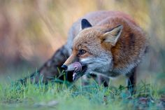 fox by Gianluca Mariani Nature Photographer natura 2.8 on 500px