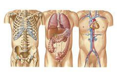 Organs on right side of body behind rib cage harvard wm anatomy human body organs ccuart Gallery