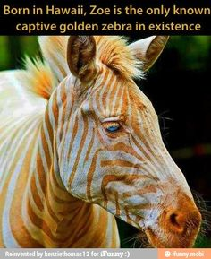 Golden Zebra. i want to see her