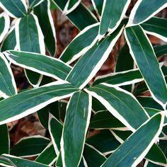 Bambou Sasa veitchii