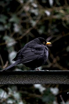Beautiful black bird