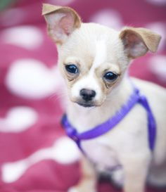 Chihuahua | Longest-Living Dog Breeds | PawNation - 15 to 20 years - Feb. 23, 2014