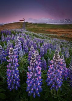Lupin wildflowers Iceland