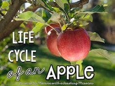 Life cycle of AppleThis pack contains:-7 graphics with facts about apples (could be used as posters)-10 vocabulary word task cards and definitions-2 different MY LIFECYCLE BOOK differentiated for high and low students. Each book contains 9 half pages of facts at each stage of the apple lifecycle, as well as a lifecycle map to fill in, 2 half sheets to use the vocabulary words in a sentence, and a half sheet to fill in facts the students have learned.