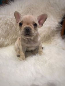 [Sold. Can reserve]★Cream Color French Bulldog Male and Female★★