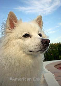 American Eskimo is so cute. Love them so much.#AmericanEskimo #dogs