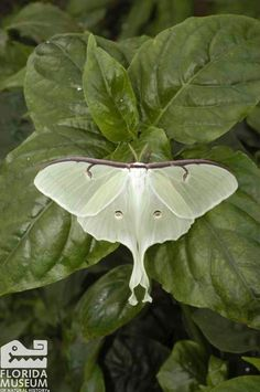 Luna Moth (Actias luna) Florida Museum of Natural History photo by Jeff Gage