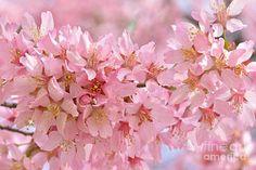 Photograph - Cherry Blossom Pastel IIi by Regina Geoghan