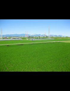 田んぼ。少しの時期だけしかこの緑の植えたての緑をみれないけど、小さな苗がたくさんあつまって、緑の絨毯になったみたいになったり、風が吹いた時に靡くあの姿がとても美しいとおもう。
