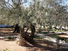 Israel - Garden of Gethsamane near All Nations Church in Jerusalem.  Holy Land trip 1982.  Amazing to be next to trees that were standing when Jesus prayed in the Garden before his crucifixion