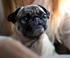 Cute Pug Puppy- i love when my pugs give me this look, melts my heart!