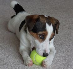 We've decided it's time to warn you against adopting a Jack Russell, these pups are far from cute. We promise, we've got proof in 24 pictures.