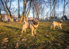 We finally got some vitamin D and now we are ready for the weekend  #mauricethepug #bubble #bubblethepug #spring #weekend #sun #sunshine #vitaminD #puglife #pugchat #pugstory #funnydog #tirgumures #romania #pug #mops #dog #puppy