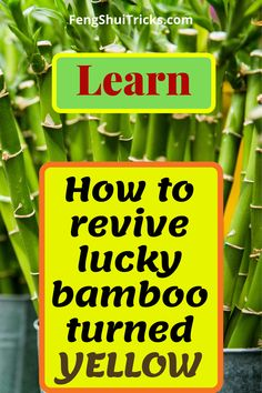 In this article, we will understand why lucky bamboo turning yellow. There are a lot os tips & tricks to revive it and care lucky bamboo. Chinese Bamboo Plant, Bamboo Plant Care, Lucky Bamboo Plants, Succulent Plants, Planting Succulents, Garden Plants, House Plants, Planting Flowers, Feng Shui Lucky Bamboo
