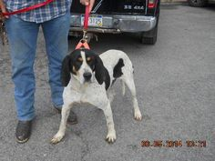 Bluetick Coonhound M named Blue in Buckhannon, WV @ Lewis-Upshur Animal Control