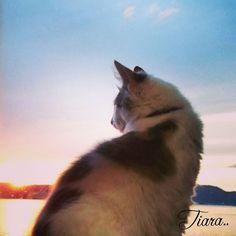 * . . ティアラも夕陽を‥‥☁☀ . . . . 🌿(´,,•ω•,,)♡.* . . . . 見てない😂‼笑 . . * #夕陽#綺麗 #写真部#素人 #写真好きな人と繋がりたい  #写真を撮るのが好きな人と繋がりたい #空#海 #海の見える町 #癒し#sea#雲#sky #ノルウェージャンフォレストキャット#norwegianforestcat#norwegian#cat#ノルウェージャン#ダイリュートキャリコ#パステル三毛#三毛猫#ねこ部#ウェブキャットショー#ウェブキャットショー2#ねこすきさんと繋がりたい#ねこ#cat#にゃんすたぐらむ#ねこすたぐらむ#愛猫#ニャンコ幼稚園