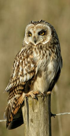 Ural Owl (Strix Uralensis).