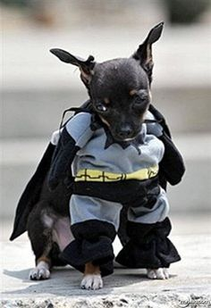 Your heroic pet will look adorable in this Batman costume! | Epic Halloween | Pinterest | Costumes Dog and Pet costumes & Your heroic pet will look adorable in this Batman costume! | Epic ...