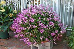 dendrobium kingianum cultivo - Pesquisa Google