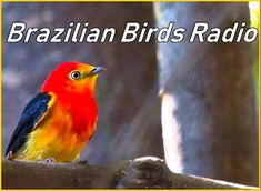 Ouvir Agora: Brazilian Birds Radio