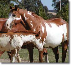 i love love love sorrel overo paint horses. #equine #horse #horselover http://globalhorsecents.com